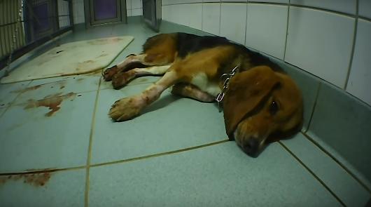 El desgarrador vídeo que denuncia el maltrato animal en un laboratorio alemán