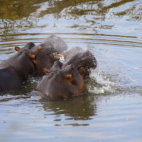Hippos  by Angie Birmingham - Animals Other Mammals ( national park, hippo, nature, wildlife, kruger )