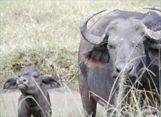 A buffalo with its calf.