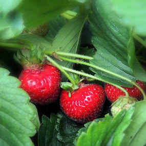 Gems For Picking by Becky Luschei - Nature Up Close Gardens & Produce ( red, juicy, strawberries, ripe, garden, picking )