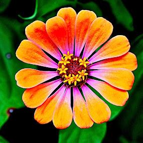 Zinnia in Bloom by Doug Wean - Flowers Flower Buds ( orange flower, zinnia, nature, single flower, petals, bud, garden, close up view, flower,  )