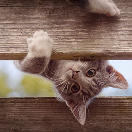 Oh, hi there! by Anita Meis - Animals - Cats Kittens ( kitten, tom, biko, cat, fence, climbing, funny )