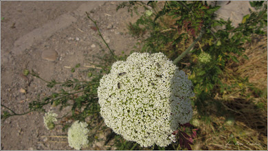 Photo: Morcov sălbatic (Daucus carota) - din Turda, Str. Fabrici, in zona - 2019.06.22