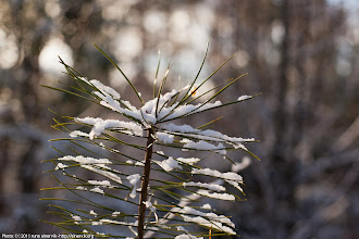 Photo: Tiny pine top, in the forest.