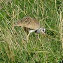 white breasted  bustard