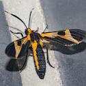 Dycladia Moth / Mariposa-Dycladia