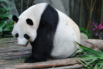 Photo: One of the two pandas.