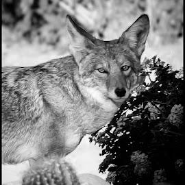 Coyote by Dave Lipchen - Black & White Animals ( coyote )