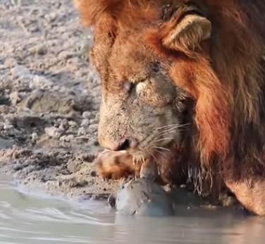 WATCH | Territorial terrapin 'chases' two lions away from its waterhole - TimesLIVE