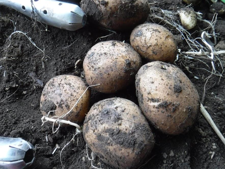 土の中で保存したら新鮮そのもの。