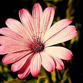 Etoile rose by Gérard CHATENET - Flowers Single Flower