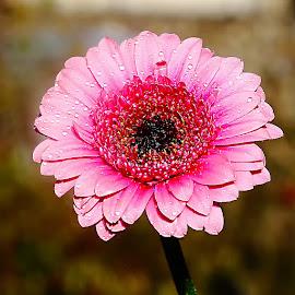 Gerbora rose by Gérard CHATENET - Flowers Single Flower