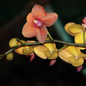 Orchid branch. by Nguyen Huu Hung - Nature Up Close Flowers - 2011-2013