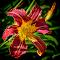 bc lily.jpg