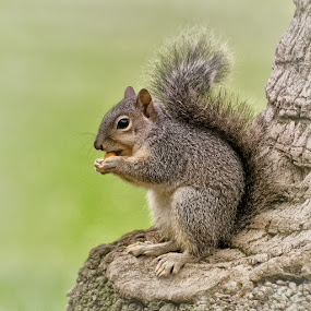 Lunch by VJ Thomas - Animals Other Mammals ( eating, grey, squirrel, acorn )