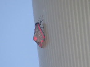 Photo: 25 Jun 13 Priorslee Lake: Cinnabar moth on one of the lamps: perhaps the spiders know these are poisonous. (Ed Wilson)