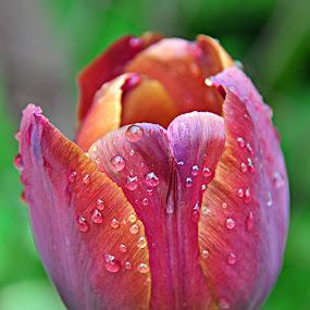Tulip by Eugenija Seinauskiene - Nature Up Close Flowers - 2011-2013 (  )