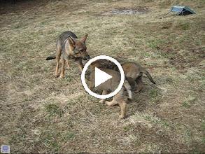 Video: VIDEO: Tasha har drakamp med Ayla og Argus