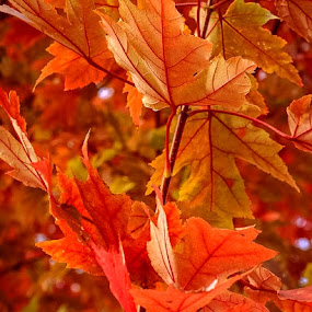AUTUMN OAK by Jennifer  Loper  - Nature Up Close Leaves & Grasses ( orange, leaves, oak, tree, autumn, oklahoma )