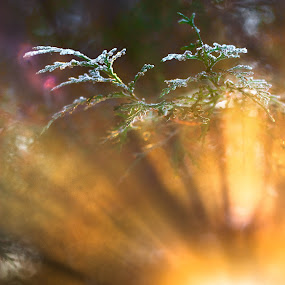 Morning Light by Eduard Moise - Nature Up Close Trees & Bushes ( ray, winter, frost, bush, sun )