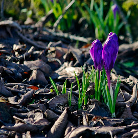 Spring heralds by Ciprian Apetrei - Flowers Flowers in the Wild ( spring, flowers, bokeh, crocus, brittany )