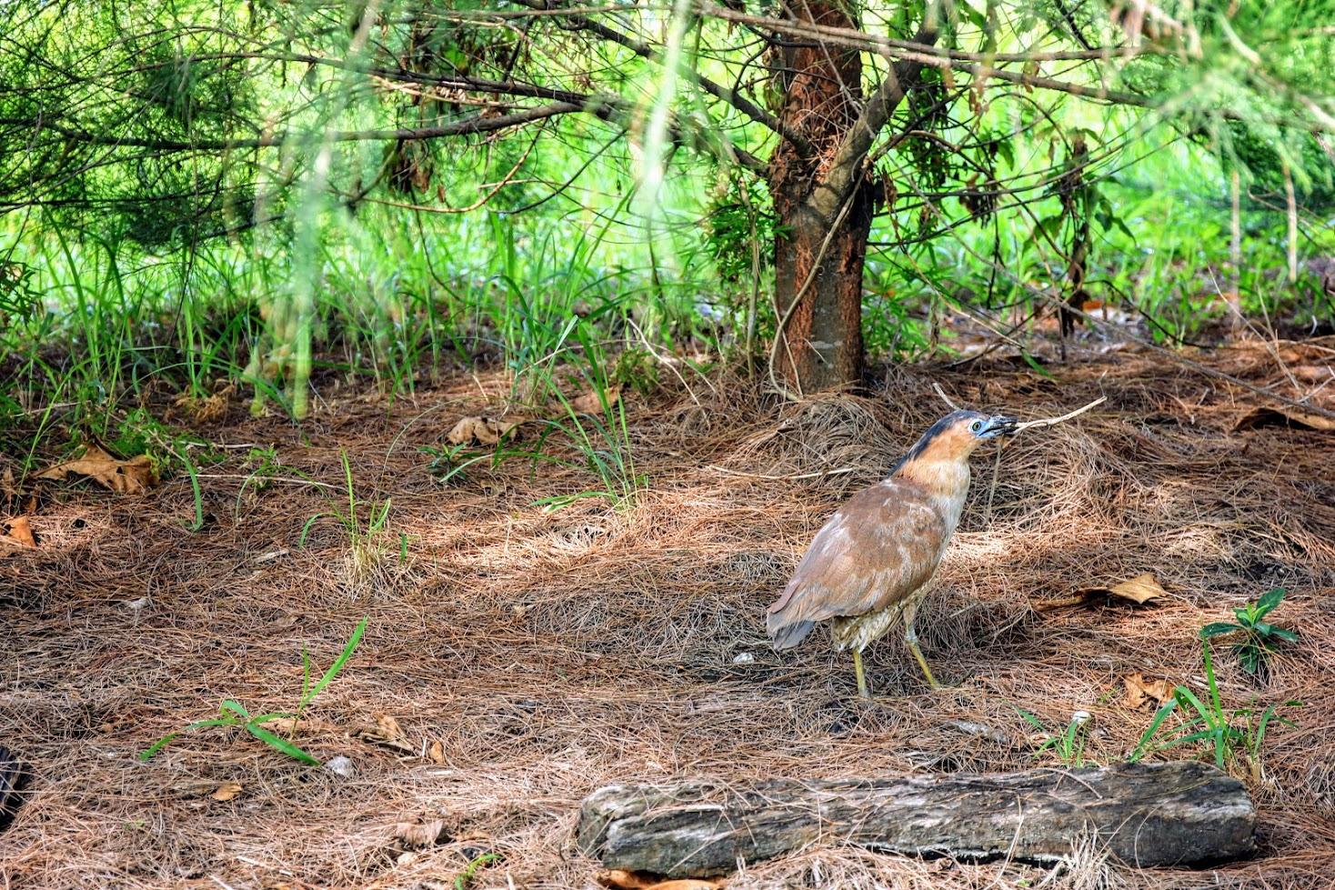 不知道是什麼鳥,但這隻鳥很悠閒又不害怕的抓取樹支要去築巢吧?