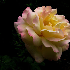 rose by Adriana Petcu - Flowers Single Flower ( rose, nature, beauty, yellow, flower )