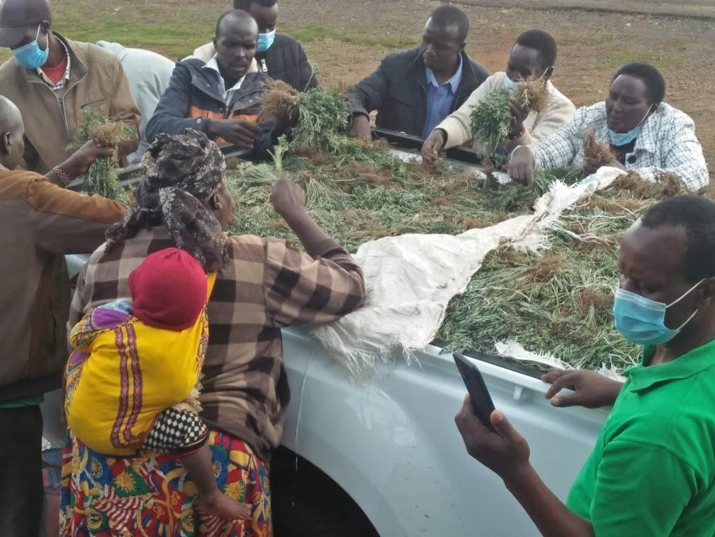 ELDAMA RAVINE: Reviving of Pyrethrum Farming