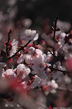 Photo: 2014年、1266本の梅木全てが伐採されることとなった青梅市の吉野梅里のようになってしまいかねないため、(豊後、2014,03,21)