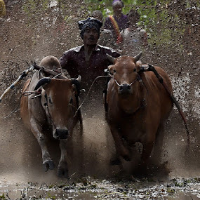 Full Speed by Achmad Tibyani - Sports & Fitness Rodeo/Bull Riding ( indonesia, pacu jawi, west sumatera )