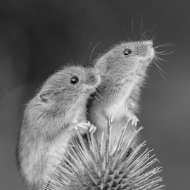 Mice by Garry Chisholm - Black & White Animals ( nature, mammal, rodent, harvest mouse, mice, garry chisholm )