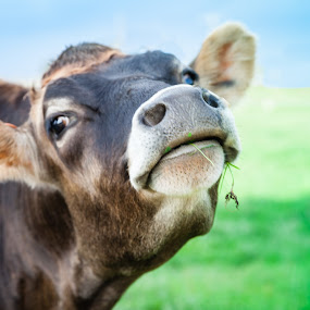Lady by Judy Wright Lott - Animals Other ( bellingham, nature, cow, dairy, farming, livestock, animal )