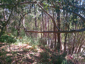 Photo: Another eucalyptus on top of an oak.