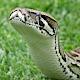 Python Snake Videos (app)