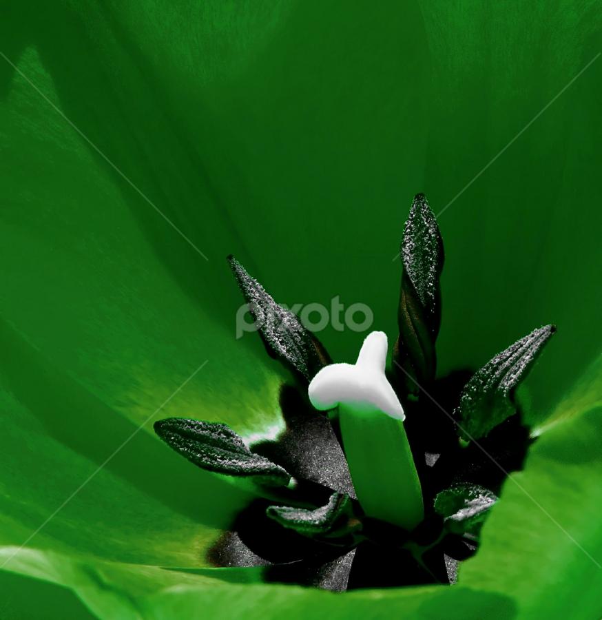 Green Tulip Macro by Darlene Lankford Honeycutt - Nature Up Close Flowers - 2011-2013 ( macros, best photo of 2013, dl honeycutt, tulips, flowers,  )