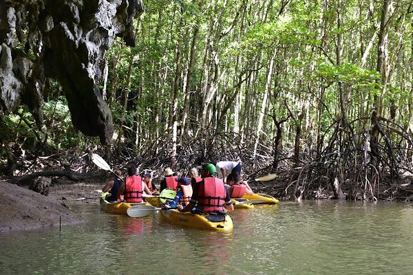 Mangrove stilt roots tower rising up