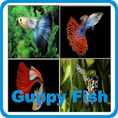 Guppy Fish