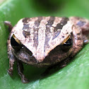Four-lined Tree Frog or Common Tree Frog