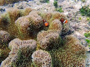 Photo: Amphiprion Ocellaris (Ocellaris Clownfish) with Stichodactyla gigantea (Giant Carpet Anemone), Miniloc Island Resort Reef, Palawan, Philippines.