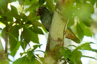 Photo: White-crowned Parrot (Glatzenkopfpapagei); Kuhunlich, QROO