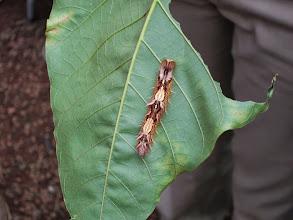 Photo: Owl butterfly caterpillar