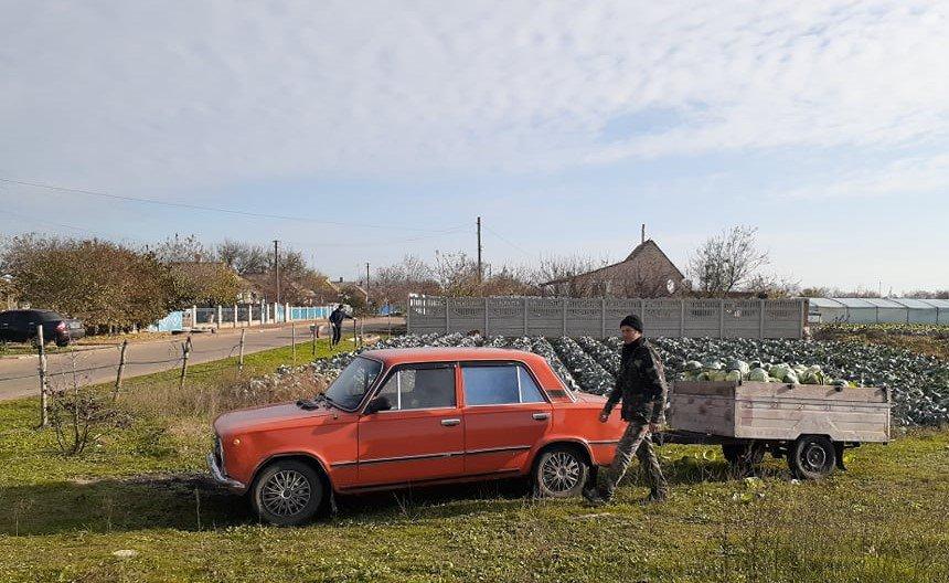 Село Наддніпрянське, Херсонська область. Збір врожаю капусти 25 листопада - і жодного натяку на сніг