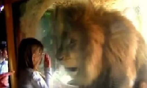 Lion Reacts With Fury When Little Girl Blows Him A Kiss From The Other Side Of The Glass