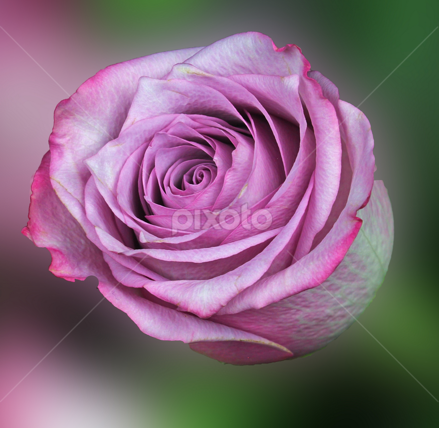 by Dipali S - Flowers Single Flower ( plant, gift, detail, single, seasonal, colorful, bright, botany, one, object, beauty, botanical, buds, spring, pretty, blossom, close, love, macro, nature, fresh, pink, head, closeup, flower, orange, blooming, decoration, flora, beautiful, bloom, render, rose, season, color, rosa, summer, freshness, natural, garden, floral, growth )