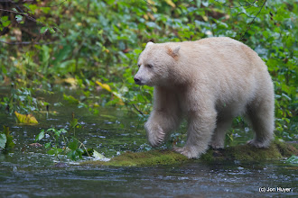 Photo: The bear walked along the far shore, so we ran down from our platform and followed him on the opposite bank of the river.