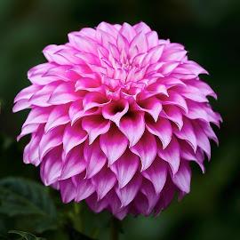 Dahlia 9974~ by Raphael RaCcoon - Flowers Single Flower