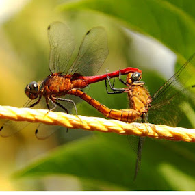 In Love..Dragonflies Mating by Nithya Purushothaman - Animals Insects & Spiders