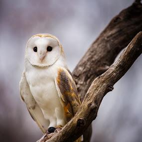 Barn Owl3 by Chris Martin - Animals Birds ( bird, birds of prey, animals, nature, barn owl, owl, wildlife, birds, owls )