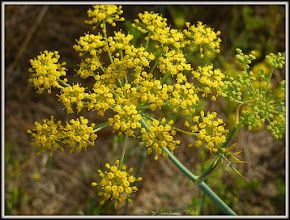 Photo: Dill weed in flower