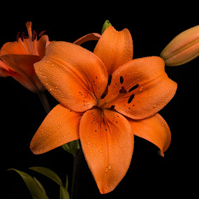 Lily by Chad W - Nature Up Close Flowers - 2011-2013 ( orange, water drops, lily, bloom, flower bud, flower )